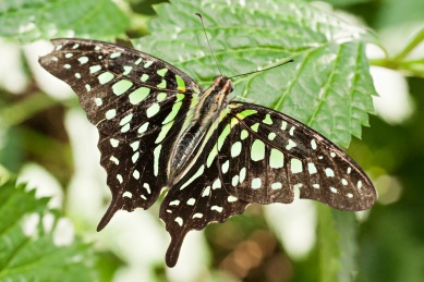Bright Green and Black Butterfly