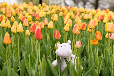 The Tulips may have still been wet from the rain but they still made for a great place to frolic gleefully, as only Tiny Hippo's are known to do