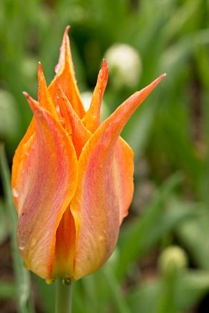Orange spiked tulip