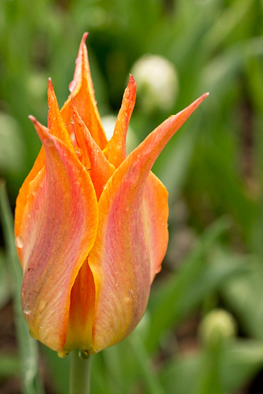 Orange spiked tulip