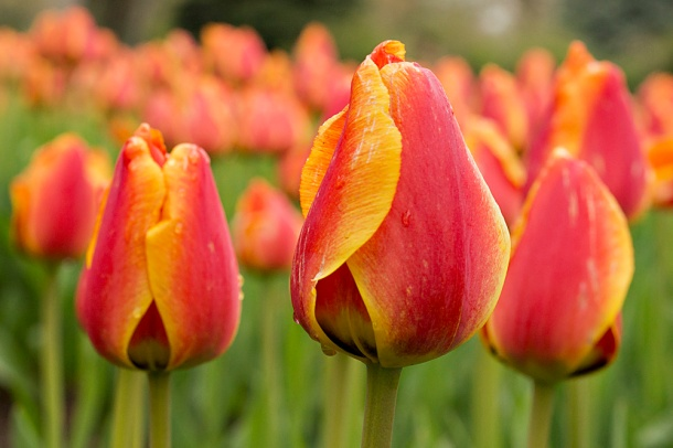 Red and Yellow Tulip
