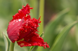 Valery Gregiev Tulip
