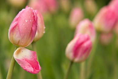 White and Pink Tulip