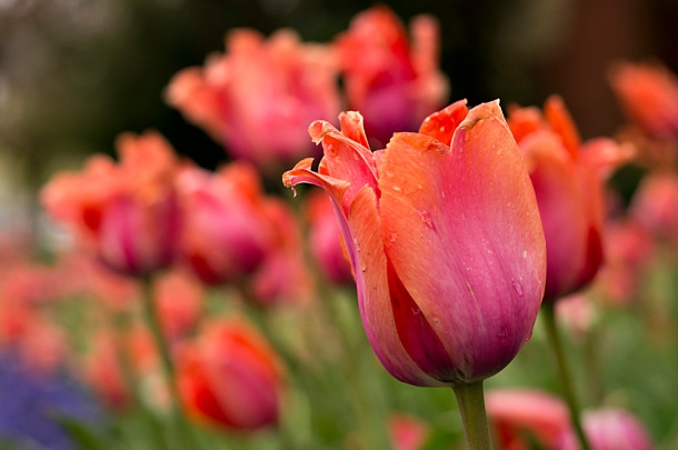 Pink and Orange Tulip