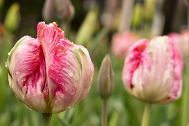 Pink and Green Tulip