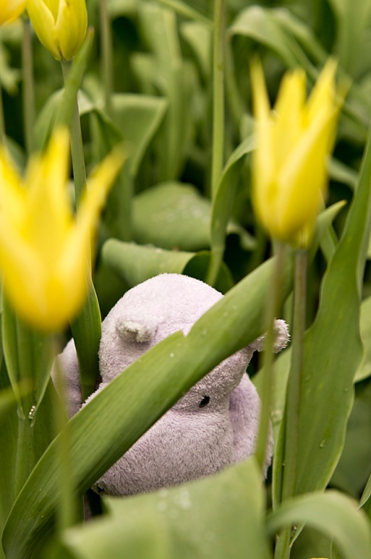 The tulips of Pella are very exciting, you will be all tuckered out at the end of your visit