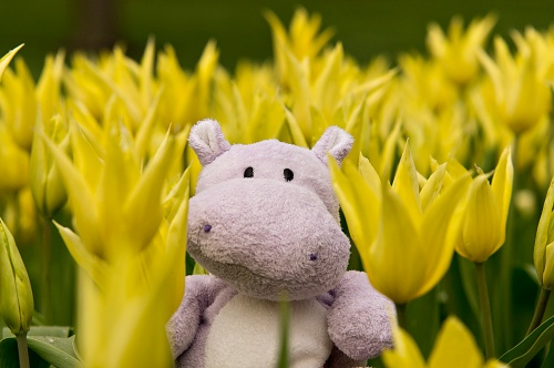 I am indeed a Hippo who is smitten over spring tulips