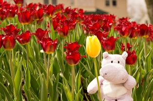 There was even this one lone yellow tulip in a sea of red
