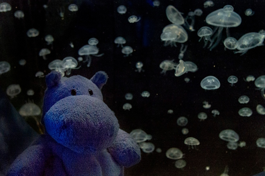 These little guys are Aurelia aurita better known as Moon Jellyfish. Fun fact: When deprived of food, they can shrink to 1/10th of their size to save energy.