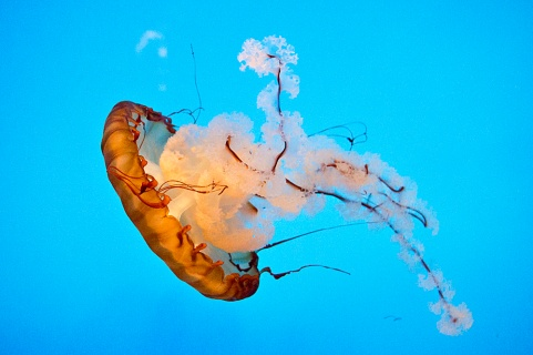 Pacific Sea Nettle National Aquarium