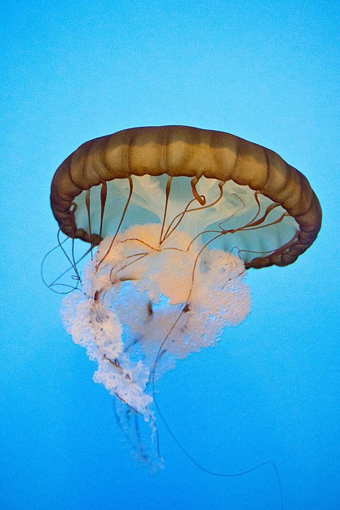 Pacific Sea Nettle or Chrysaora fuscescens was one of the more showy jellyfish