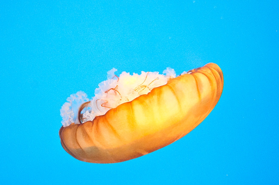 This Pacific Sea Nettle tucked its self nicely into its cap while it floated downward on its back