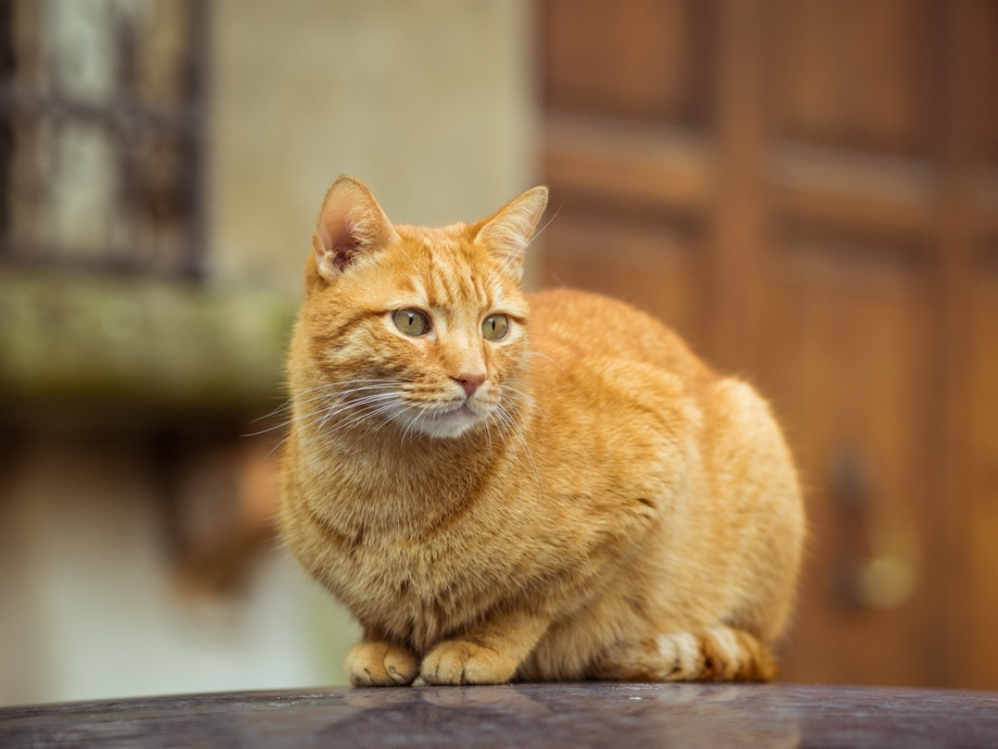 Orange Cat in Italy