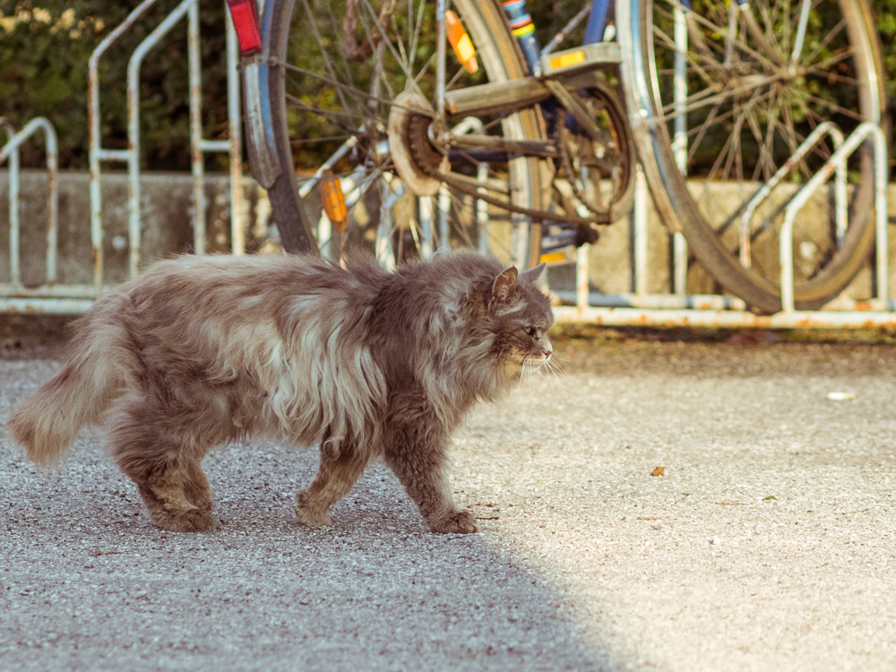 Long Haired Tabby Cat