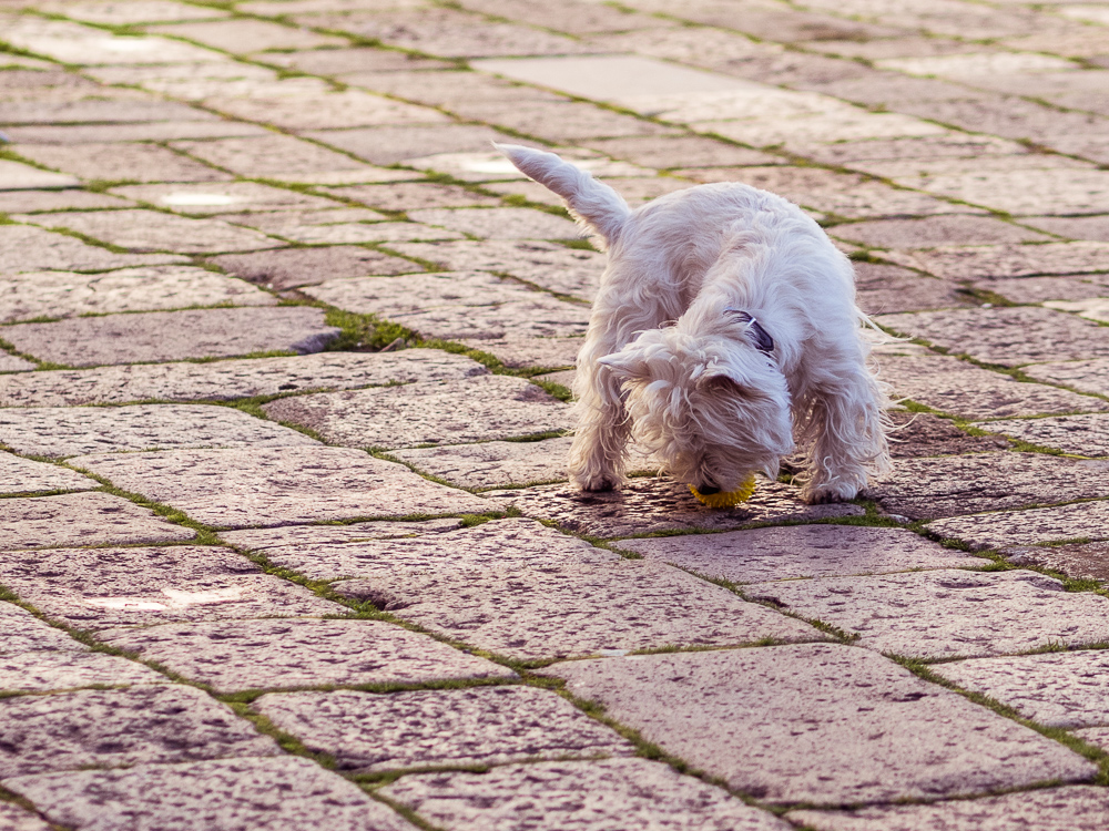 White Dog and Flagstones