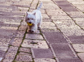 Tiny White Dog, Venice