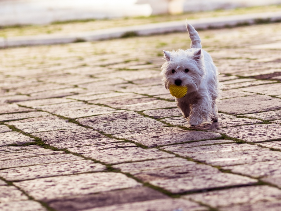 White Terrier with Yellow Ball