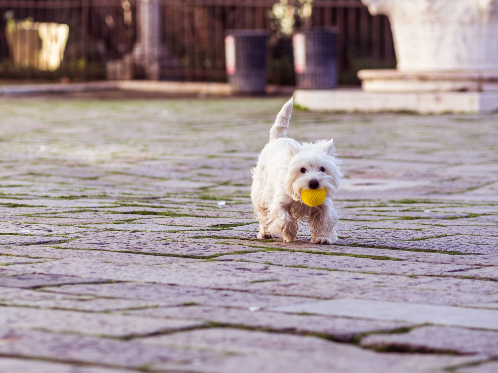 White Terrier in Campo San Zaccaria