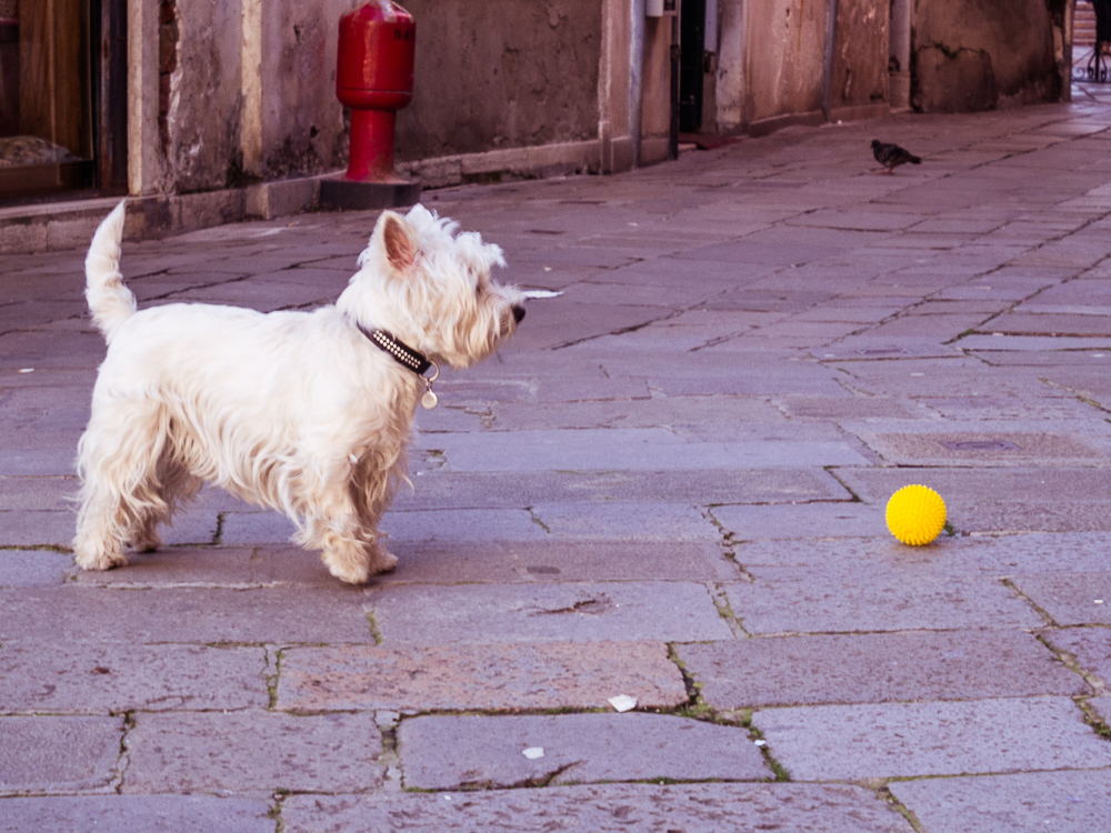 White Terrier and Yellow Ball