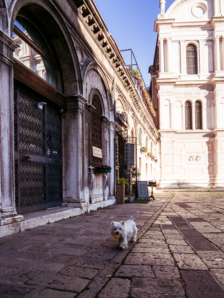 White Terrier Venice, Italy