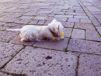 Small White Dog with Ball