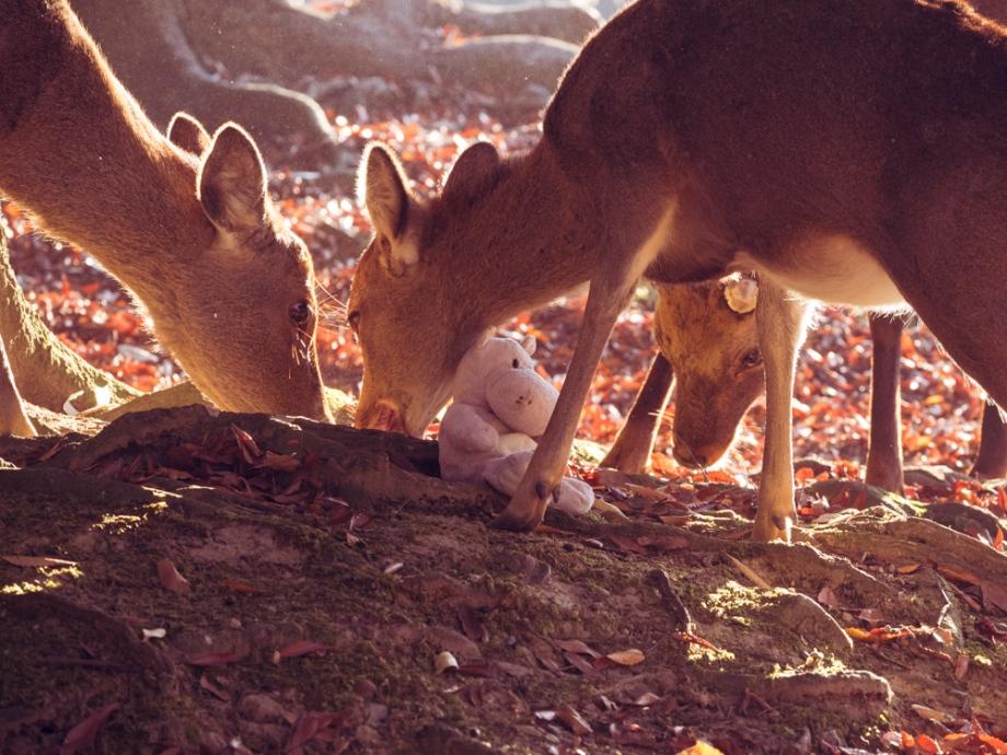 Tiny Hippo Surrounded by Nara Deer