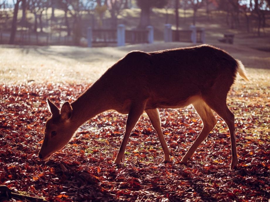 Nara Park Deer Fall
