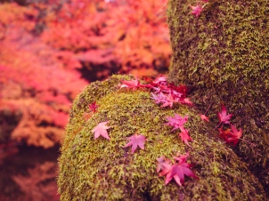 Maple Leaves on Moss