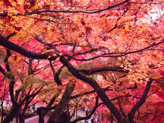 Maple Trees in Japan