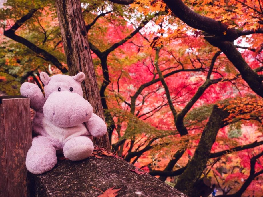 Tiny Hippo Kiyomizu-dera